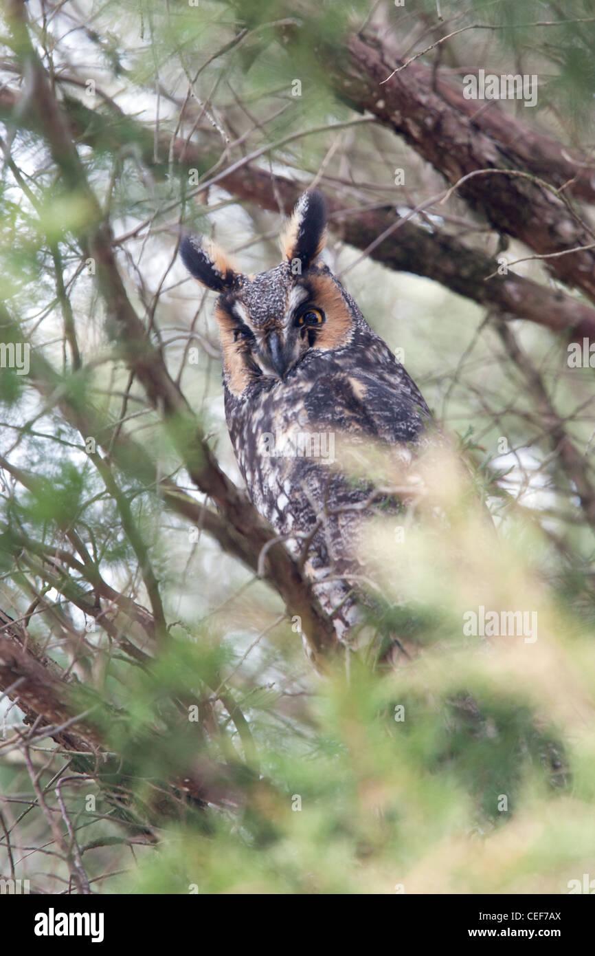 Long eared Owl - vertical - Stock Image