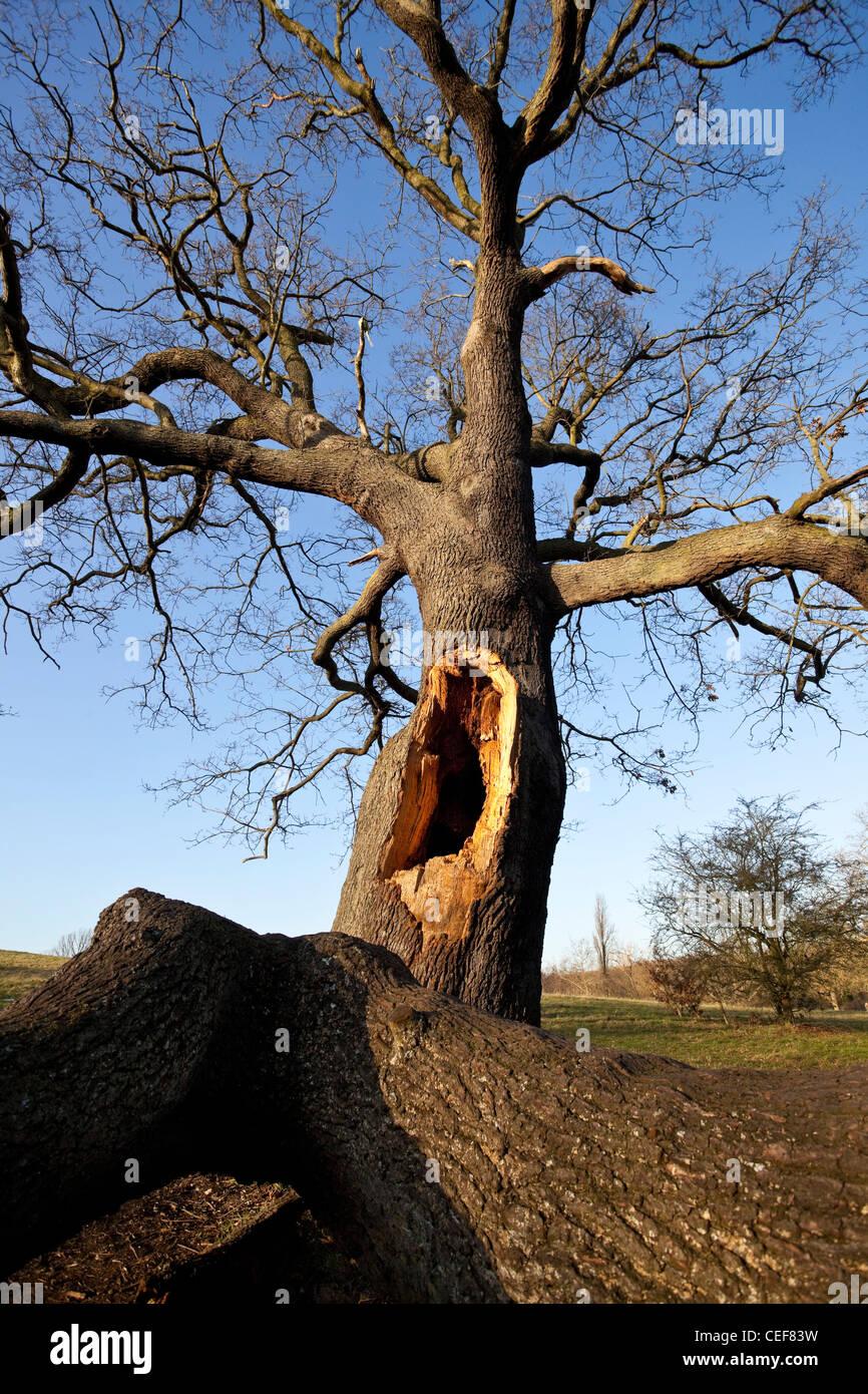 A big hole on a broken leafless tree, Hampstead Heath, Highgate, London, England, UK. - Stock Image