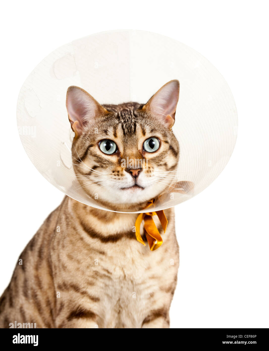 Bengal cat looking sad in a plastic neck cone collar to stop it licking a wound - Stock Image