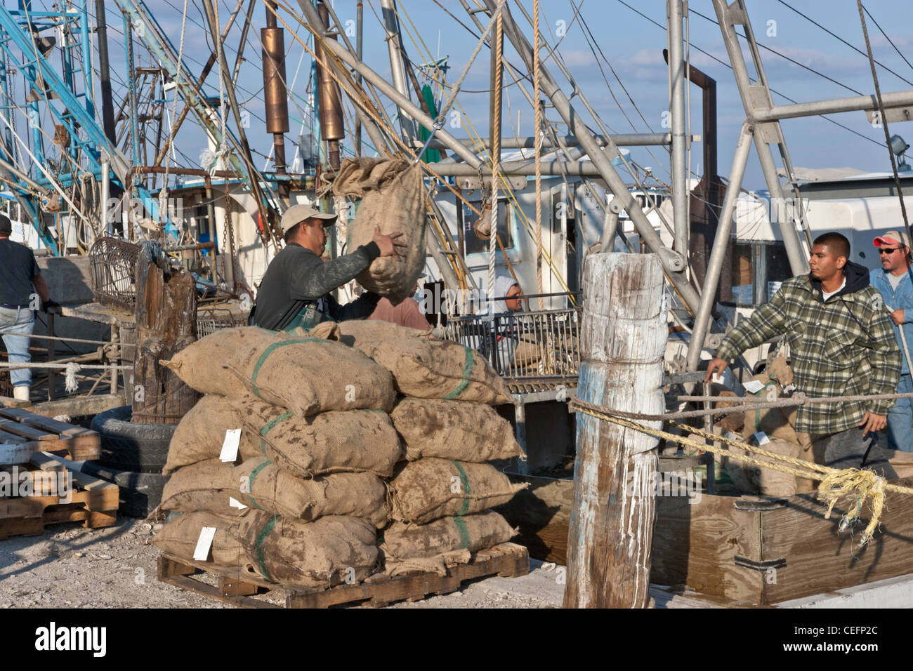 Fishermen unloading 'sacked' harvested oysters from boat. - Stock Image
