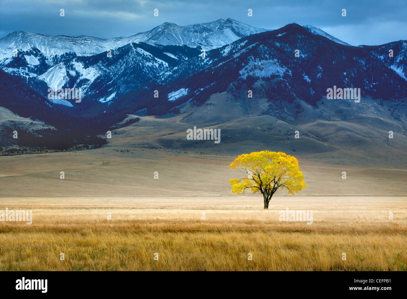Lone tree in fall color in vast pasture. Near Ennis Montana - Stock Image