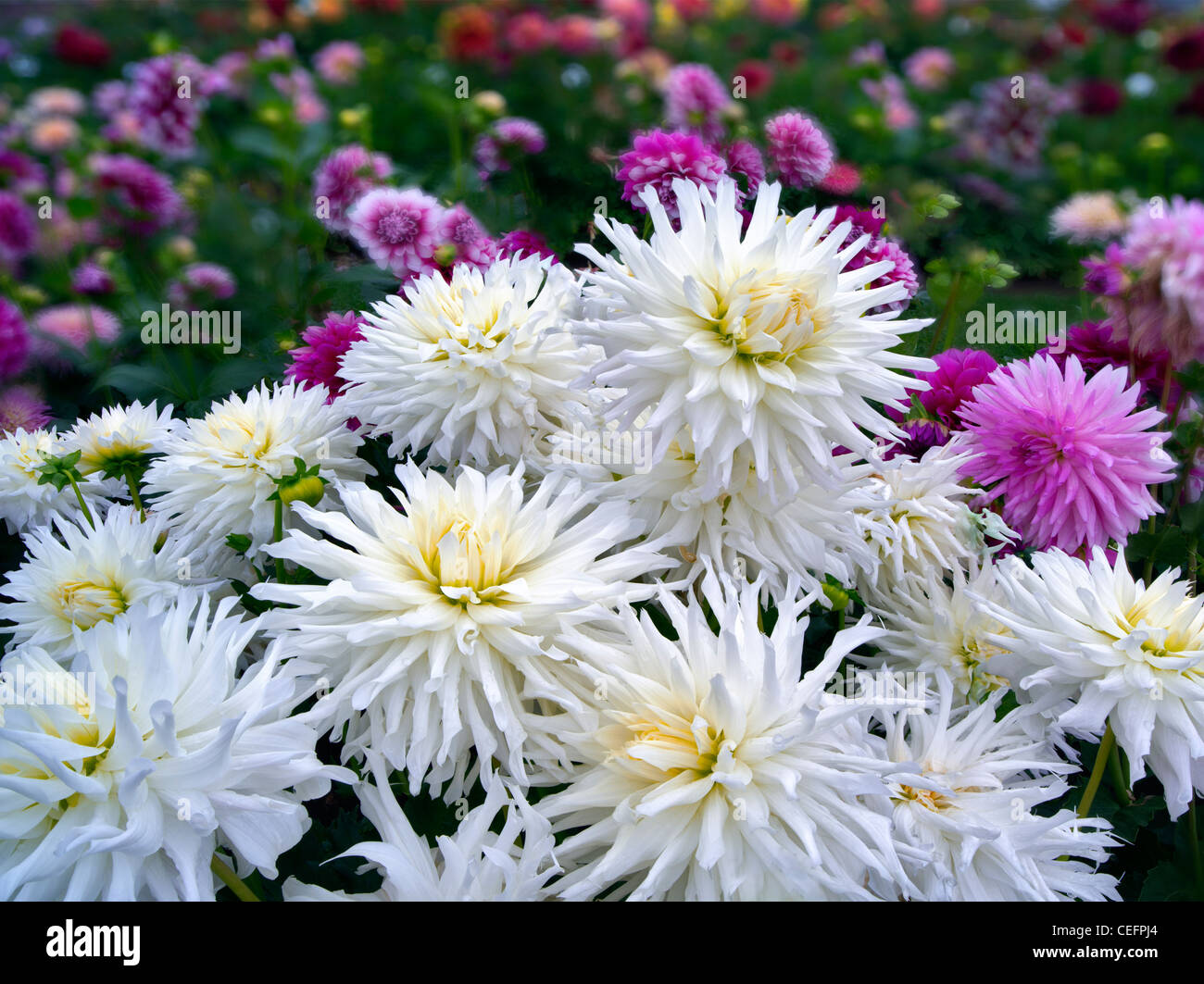 Close up of Dahlia variety Magic Moment. Oregon - Stock Image