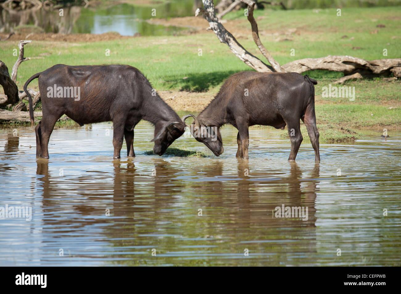 Two water buffalos interlocking horns - Stock Image