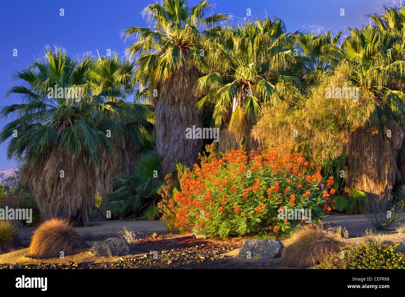 Palm trees and Dwarf Poinciana, Red Bird of Paradise bush. Desert Willow Golf Resort, Palm Desert, California - Stock Image