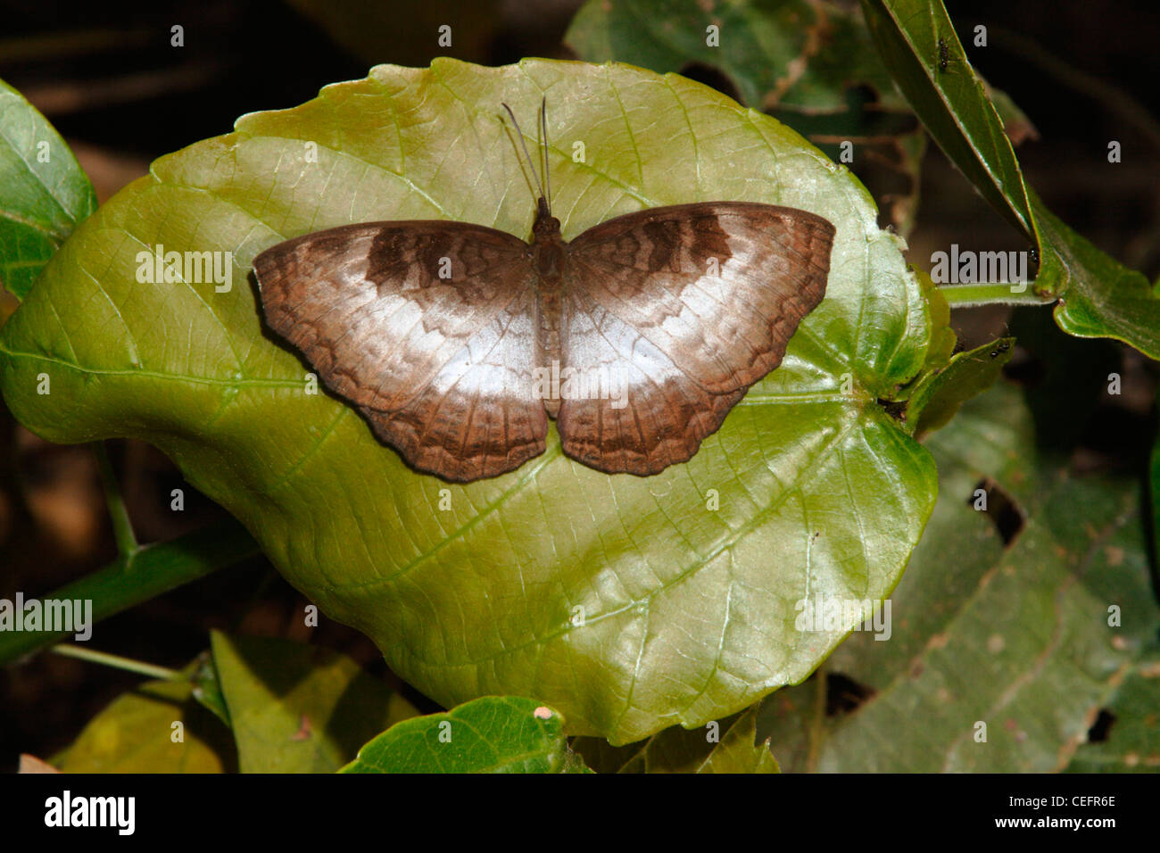 Bộ sưu tập cánh vẩy 4 - Page 8 African-castor-butterfly-ariadne-enotrea-nymphalidae-male-in-rainforest-CEFR6E