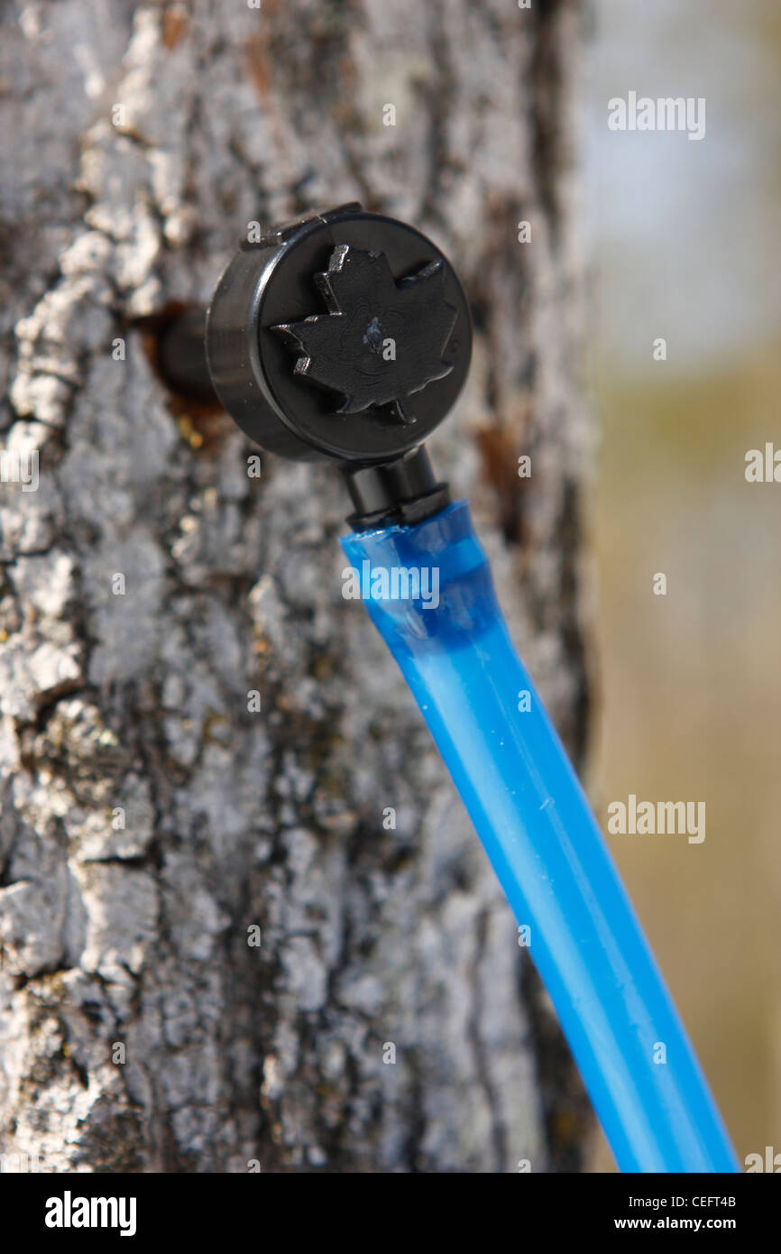 Tap (spigot) inserted into the maple tree trunk during sugaring season. - Stock Image