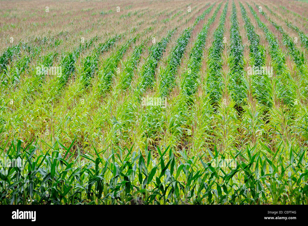 Field showing rows of Maize (Zea mays) in summer, Belgium - Stock Image