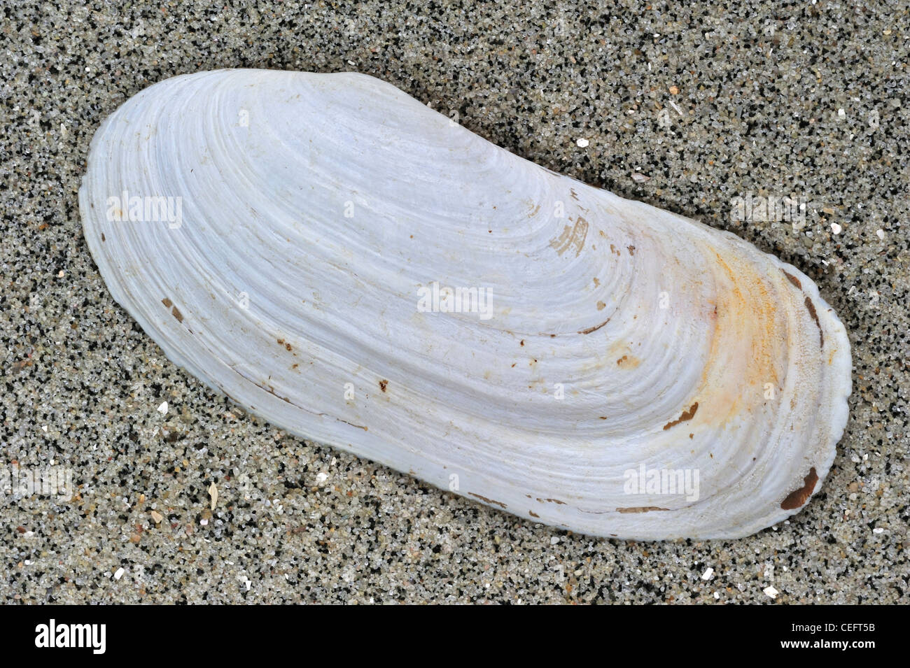 Oblong otter clam / Oblong otter-shell (Lutraria magna) on beach, Brittany, France - Stock Image