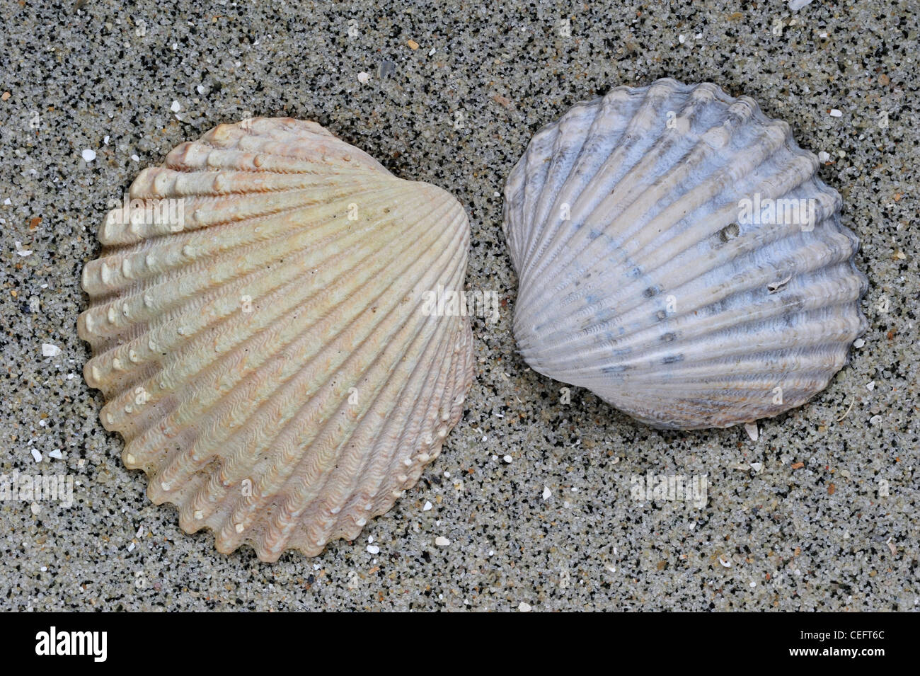 Poorly ribbed cockle (Acanthocardia paucicostata) shell, Normandy, France - Stock Image