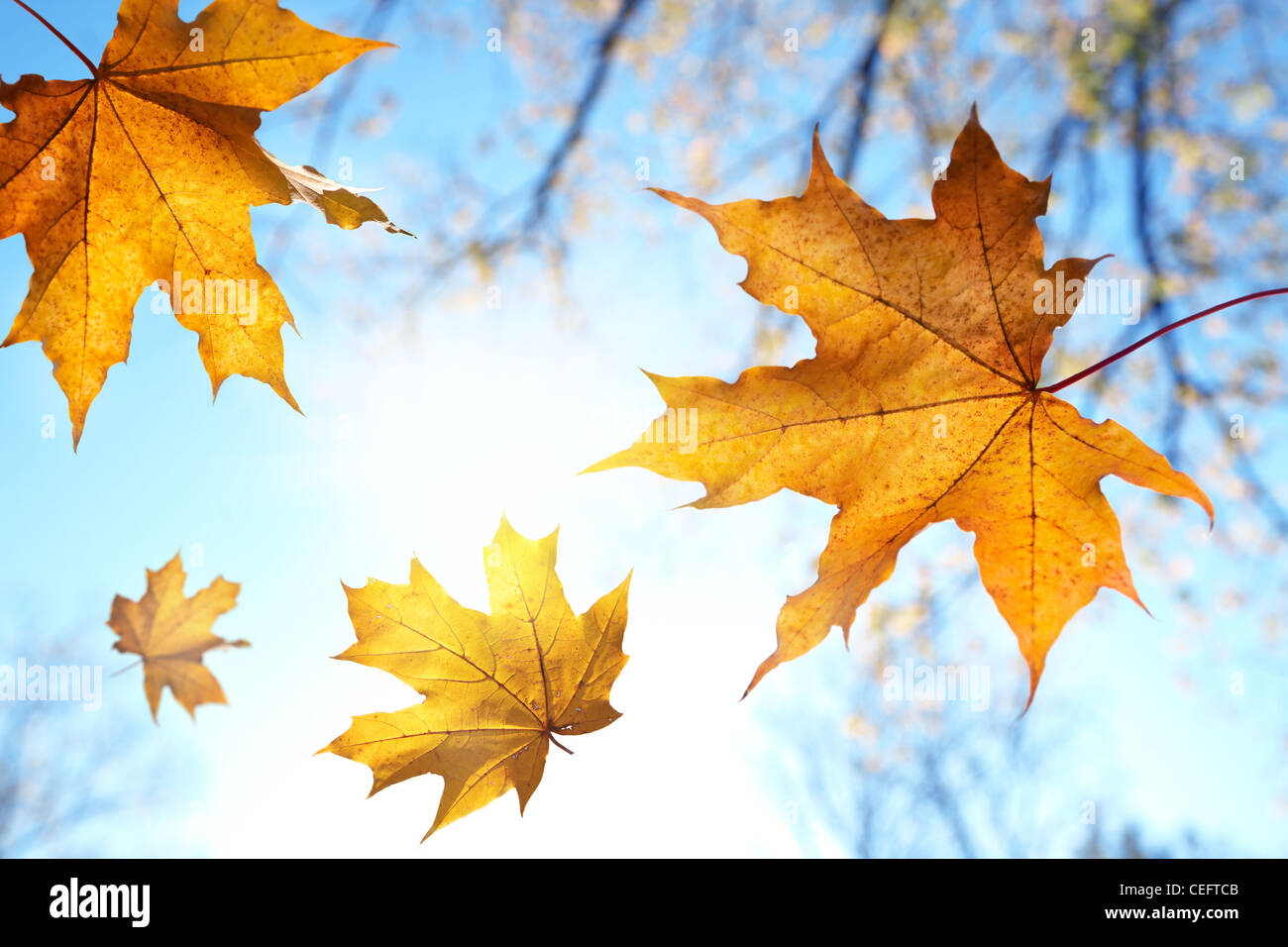 Fall leaves against the blue sky and sun,selective focus - Stock Image