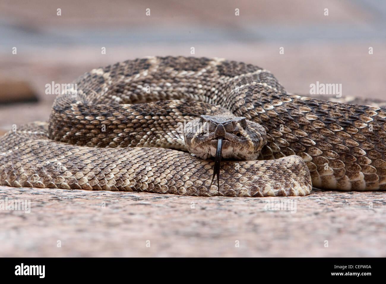 rattlesnake poisonous dangerous rattle venomous Crotalus Sistrurus predator - Stock Image