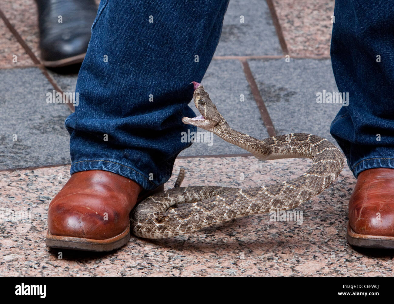 rattlesnake bites it's handler, Riley Sawyers during a visit to the Texas State Capitol promoting the  Rattlesnake - Stock Image