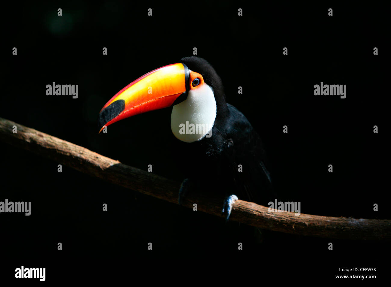 Portrait of a Toco toucans (Ramphastos toco) in tree hole, Pantanal, Brazil Stock Photo