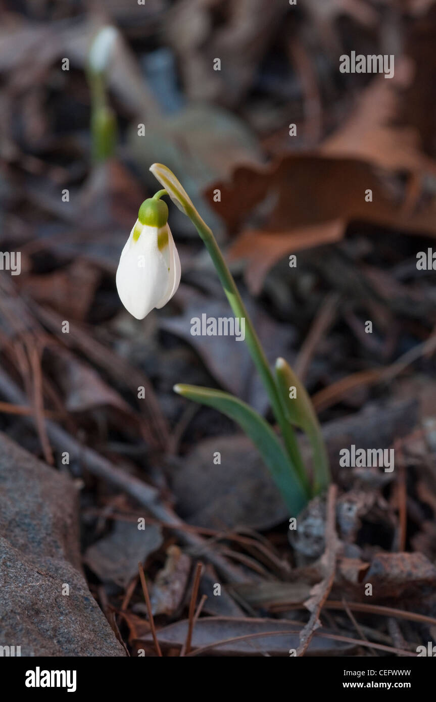 A snowdrop flower (Galanthus elwesii) emerges in early February in New Jersey, USA - Stock Image