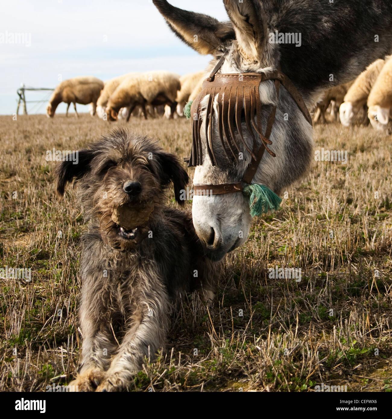 A donkey and a dog, with a stone in his mouth, plays together. A sheep flock grazes behind them. Beauty and bucolic Stock Photo