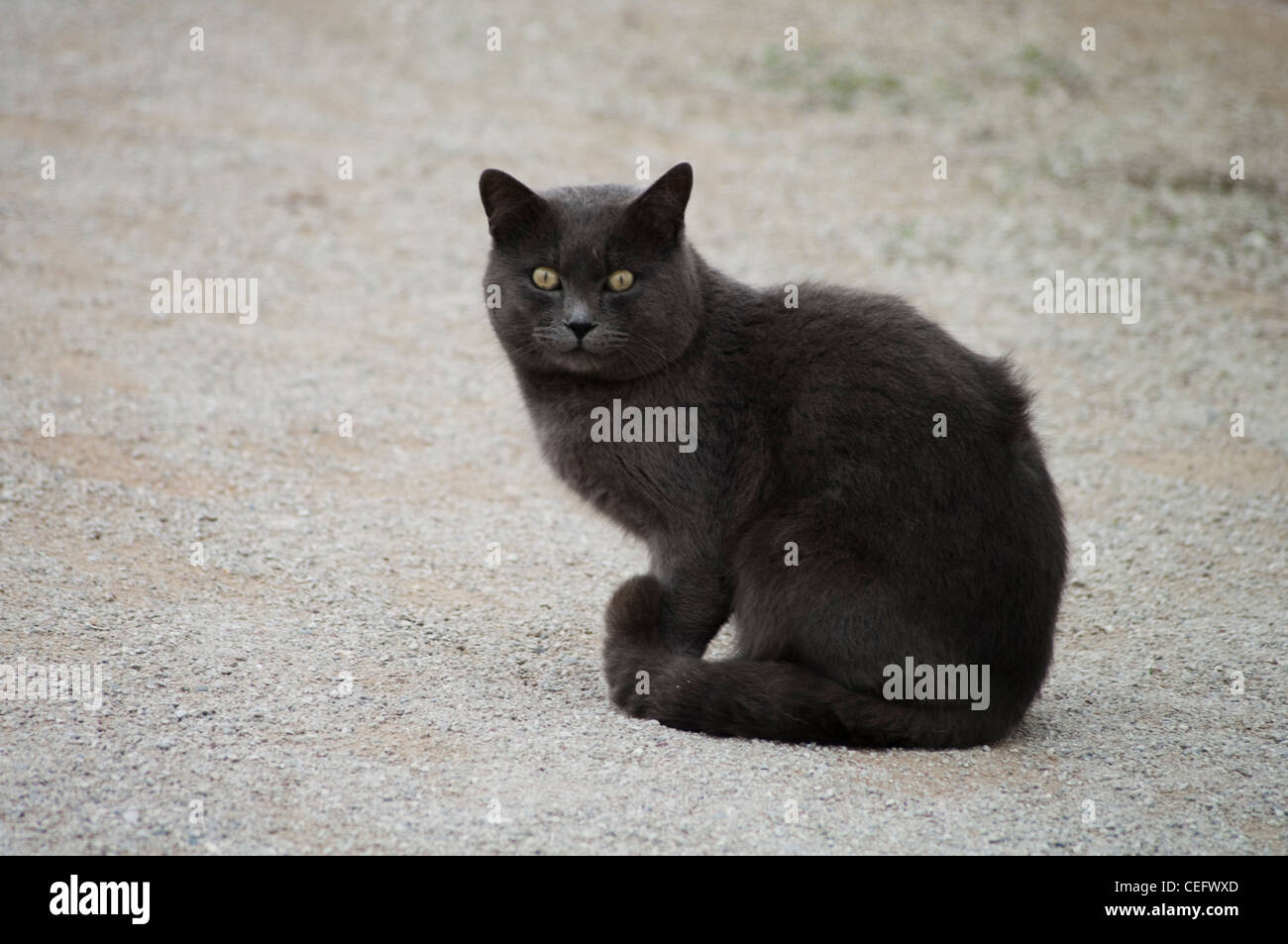 A beauty gray street cat  with yellow eyes looks at the camera. - Stock Image