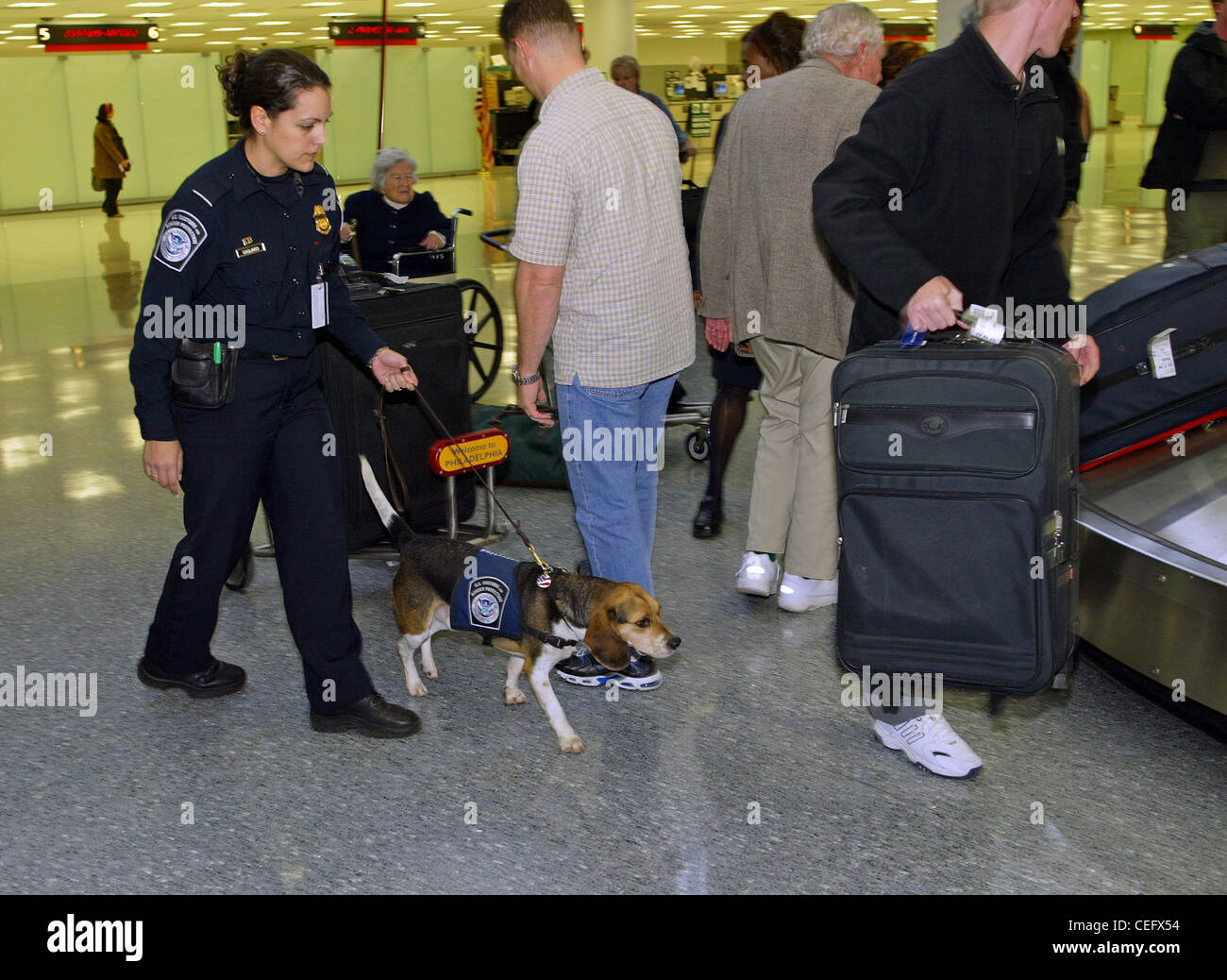 A member of the CBP Beagle Brigade looks for prohibited agricultural products and meats brought in by arriving passengers. - Stock Image