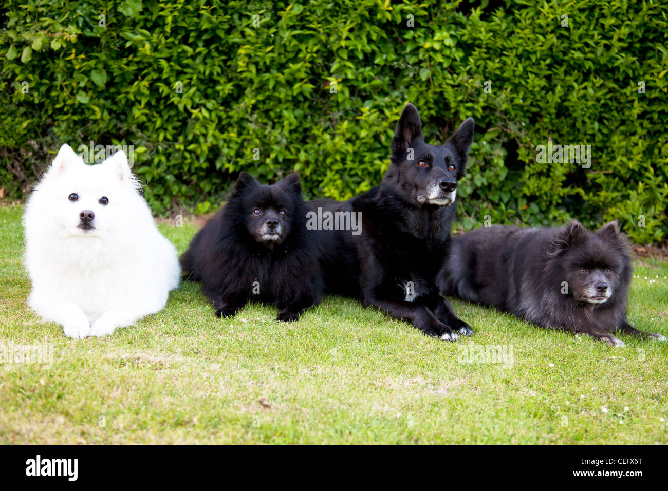 White Japanese Spitz Pet Dog Two German Spitz Dogs And A Black