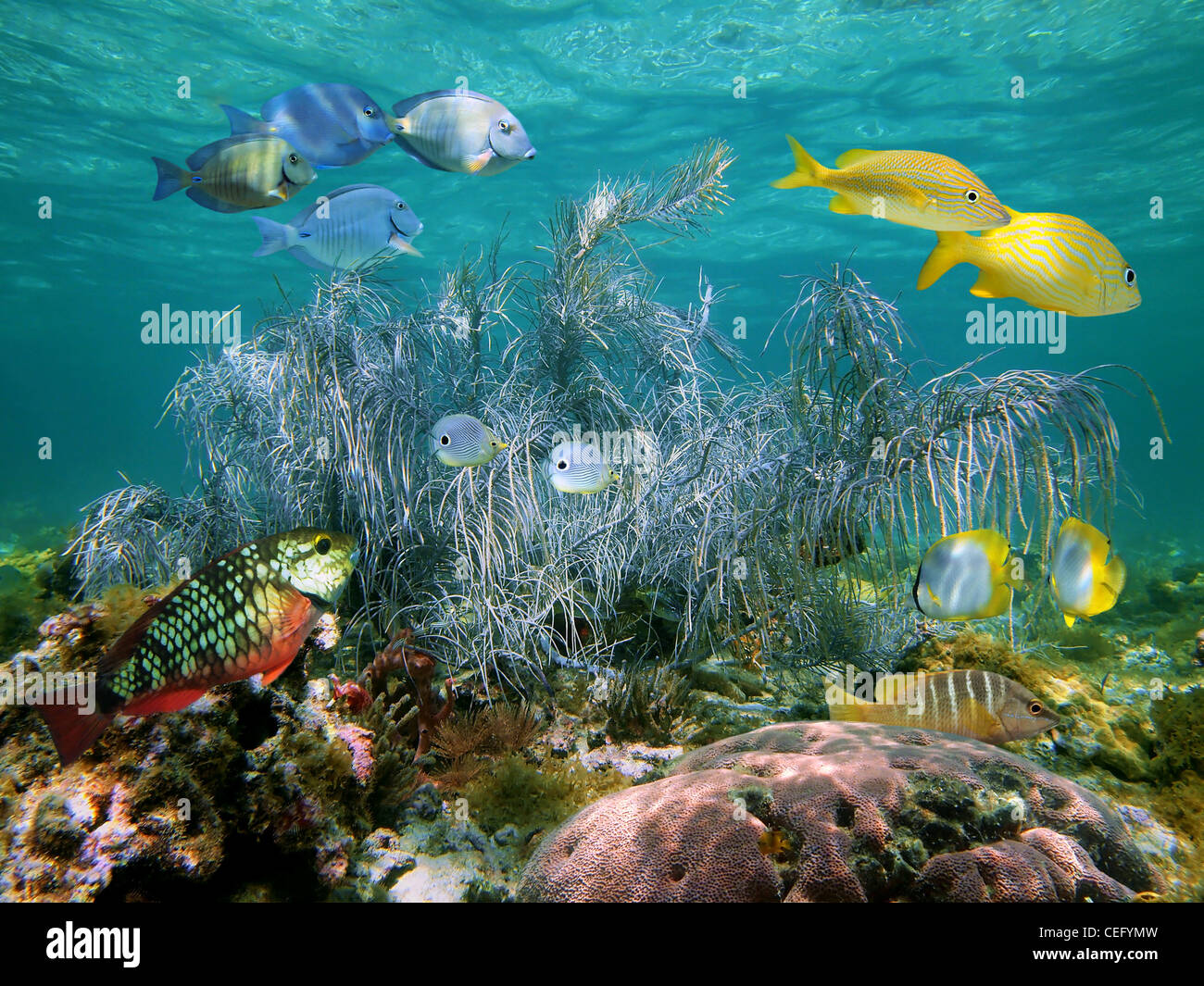 Gorgonian soft coral with colorful tropical fish, Bahamas - Stock Image