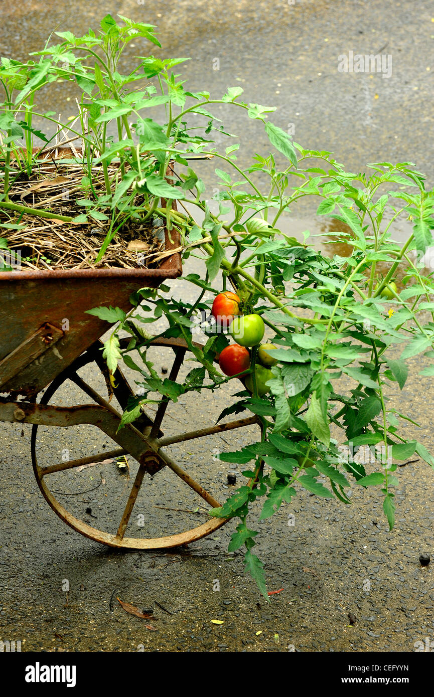 Tomatoes growing in old wheelbarrow - Stock Image