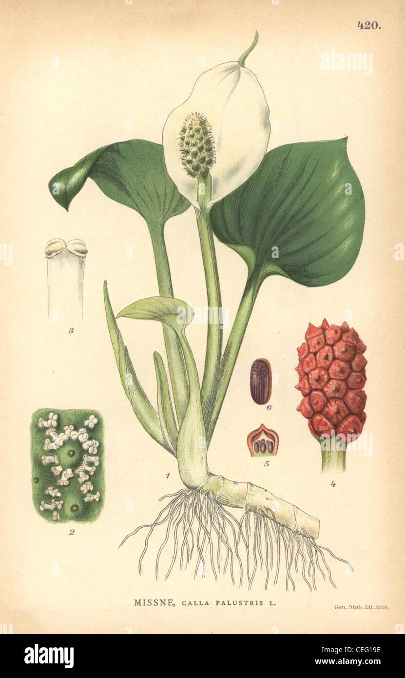 Bog arum, Calla palustris. - Stock Image