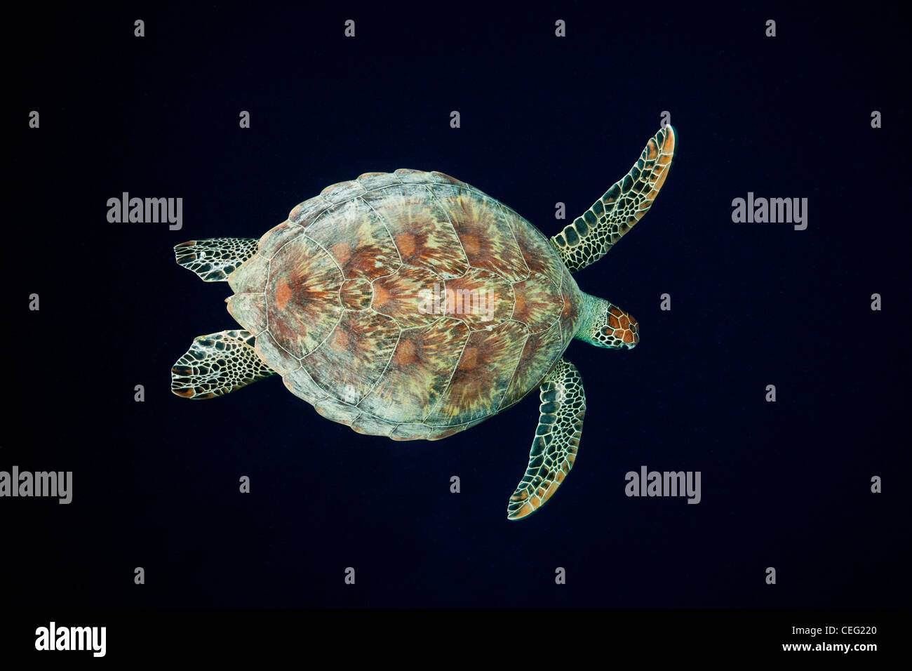 Green Sea Turtle, Chelonia mydas, Baa Atoll, Indian Ocean, Maldives - Stock Image