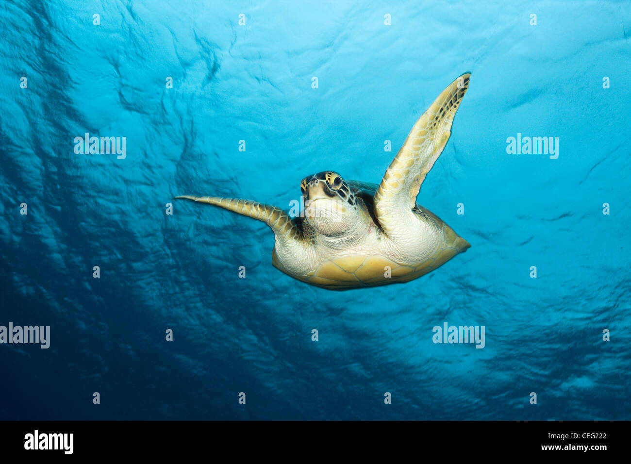 Green Sea Turtle, Chelonia mydas, Baa Atoll, Indian Ocean, Maldives Stock Photo