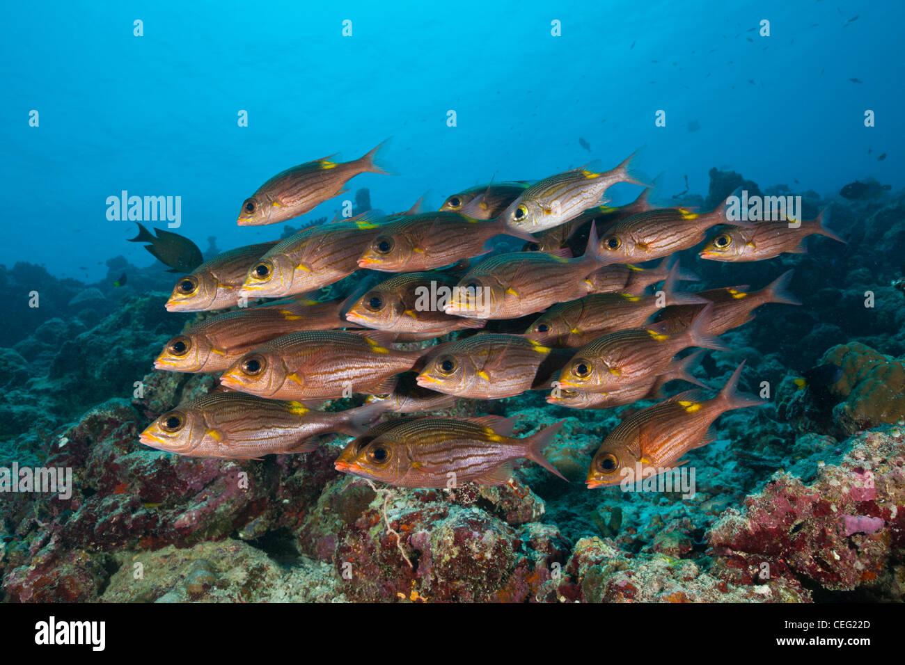 Shoal of Glowspot Emperor, Gnathodentex aurolineatus, Baa Atoll, Indian Ocean, Maldives Stock Photo