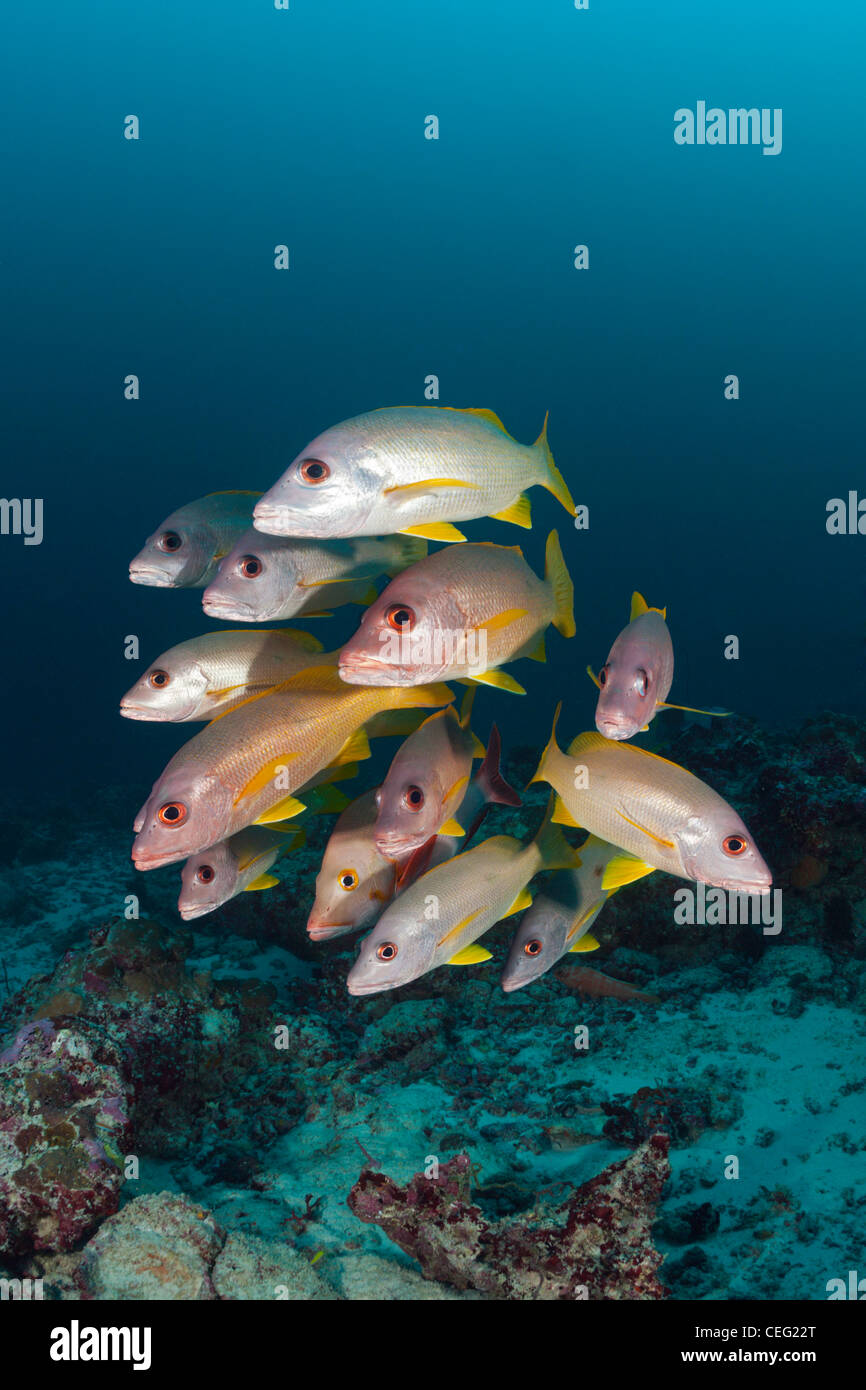 Shoal of One-spot Snapper, Lutjanus monostigma, Baa Atoll, Indian Ocean, Maldives - Stock Image