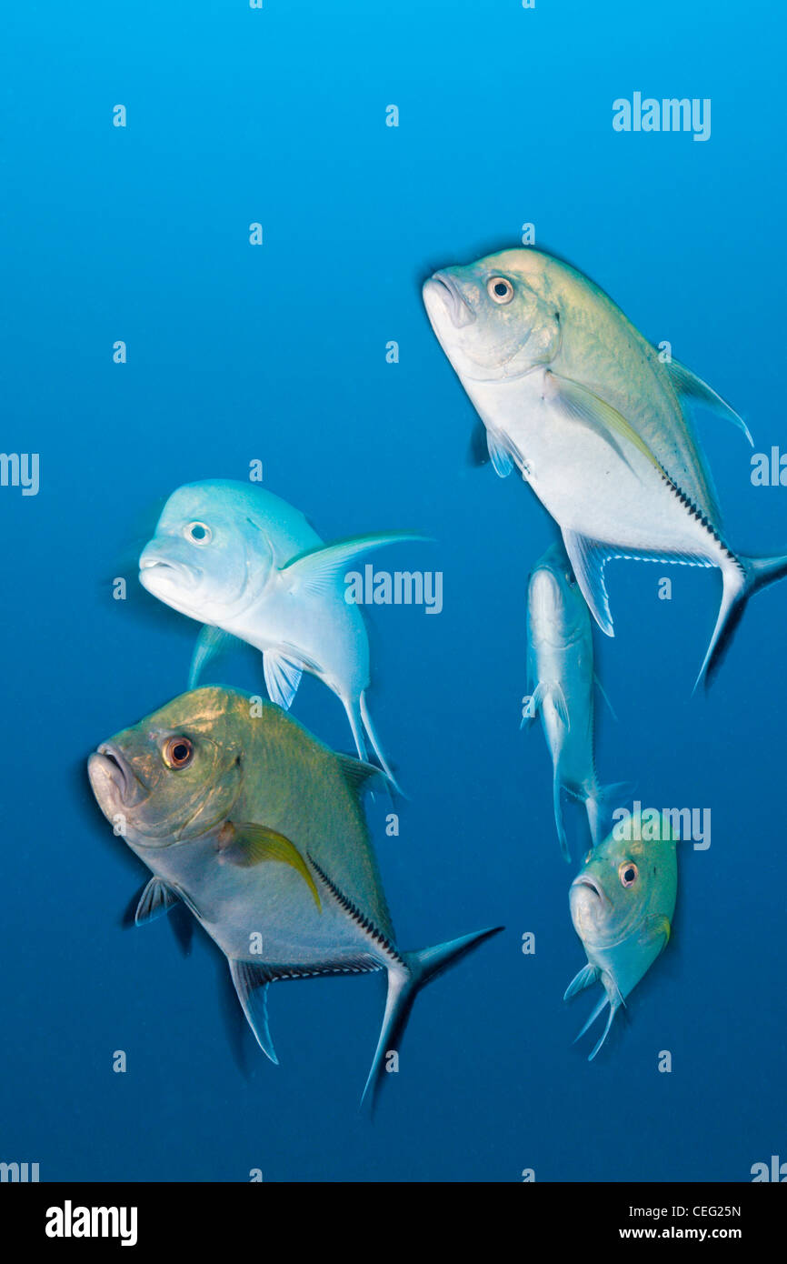 Shoal of Black Trevally on Maldive Victory Wreck, Caranx lugubris, North Male Atoll, Indian Ocean, Maldives - Stock Image