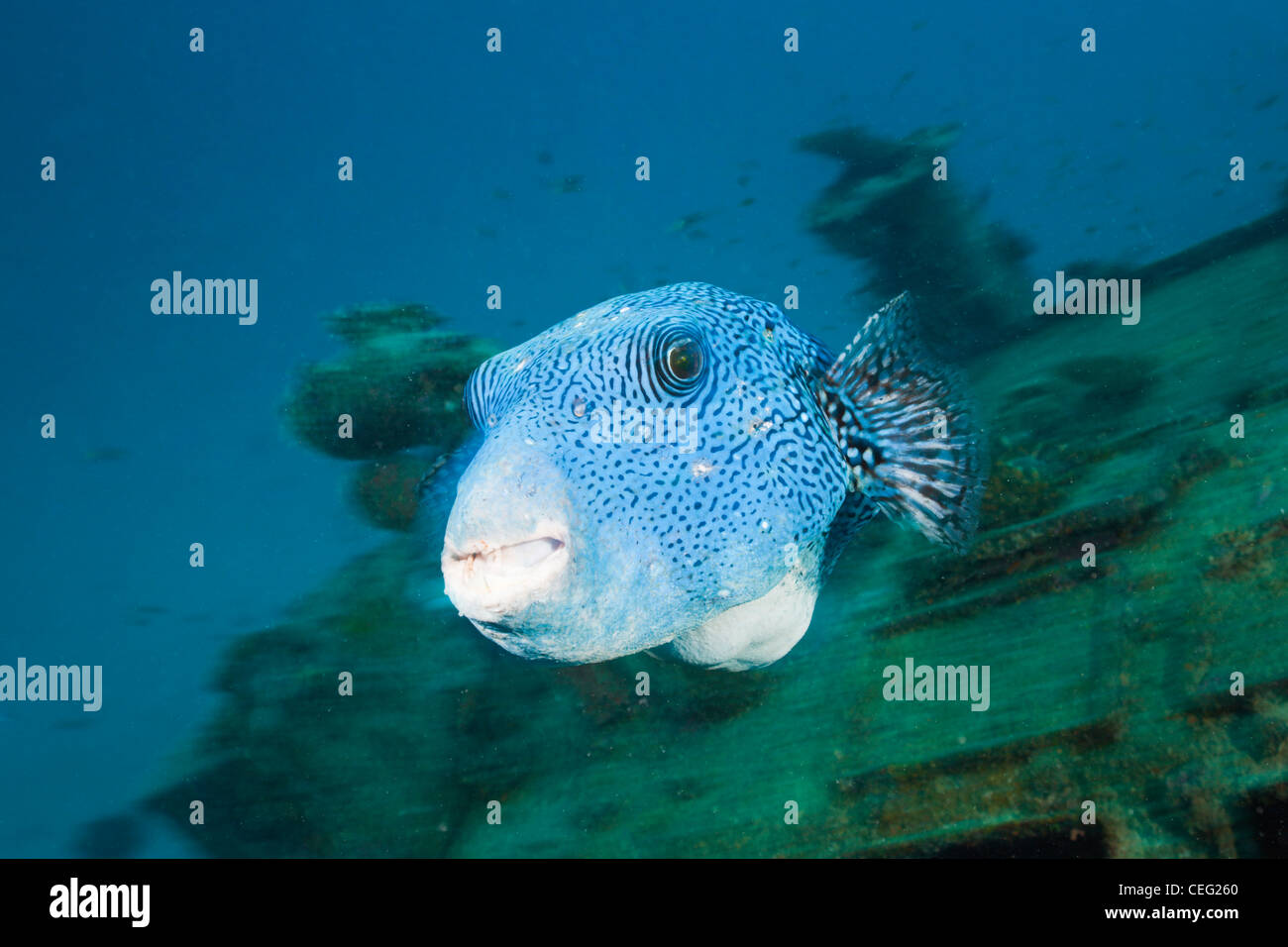 Starry Puffer over Maldive Victory Wreck, Arothrom caeruleopunctatus, North Male Atoll, Indian Ocean, Maldives - Stock Image