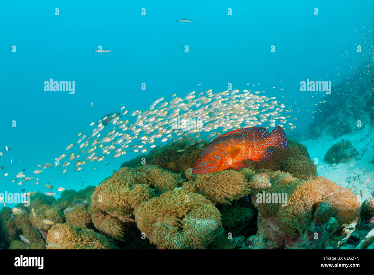 Shoal of Pygmy Sweepers and Coral Grouper, Parapriacanthus ransonneti, Cephalopholis miniata, Baa Atoll, Indian - Stock Image