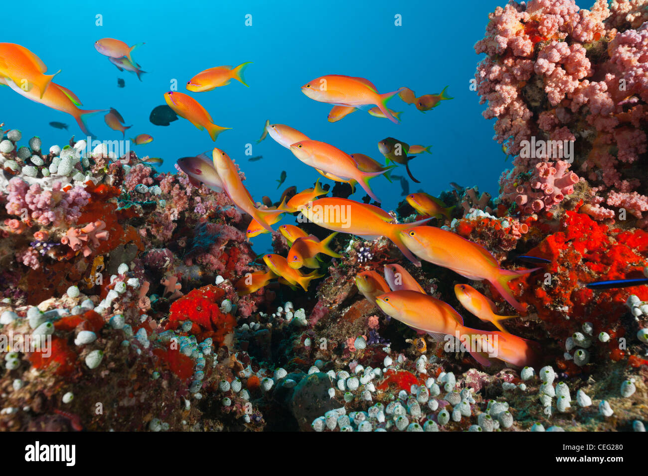 Shoal of Threadfin Anthias in Coral Reef, Nemanthias carberryi, Baa Atoll, Indian Ocean, Maldives - Stock Image