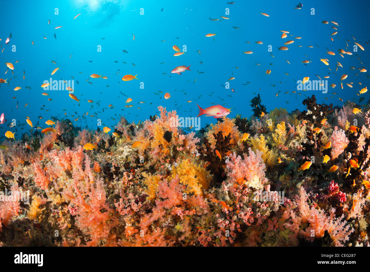 Coral Fishes over Soft Coral Reef, Baa Atoll, Indian Ocean, Maldives - Stock Image