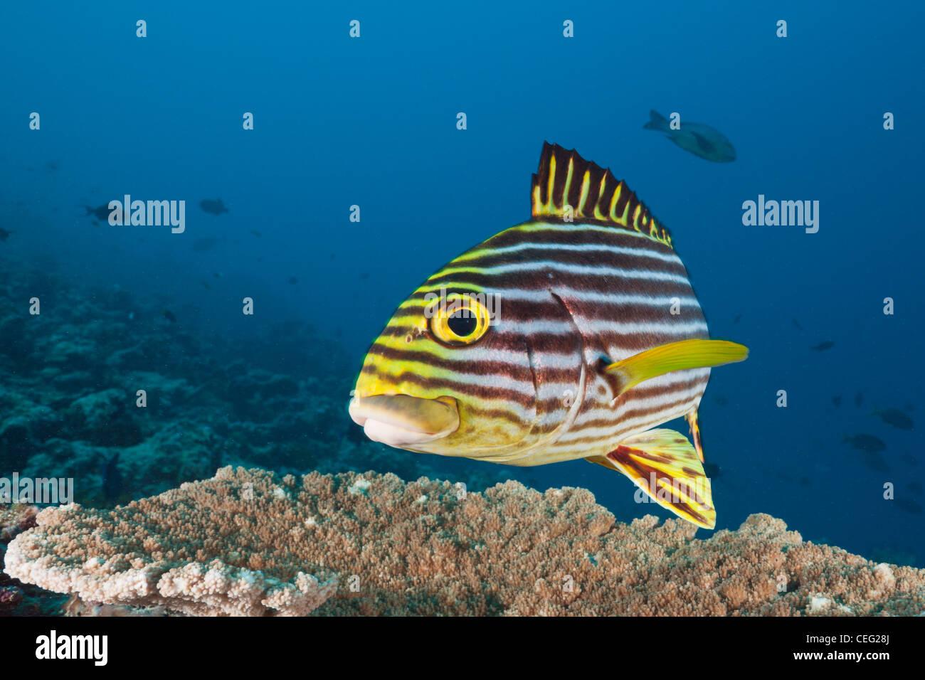 Oriental Sweetlips, Plectorhinchus vittatus, North Male Atoll, Indian Ocean, Maldives - Stock Image