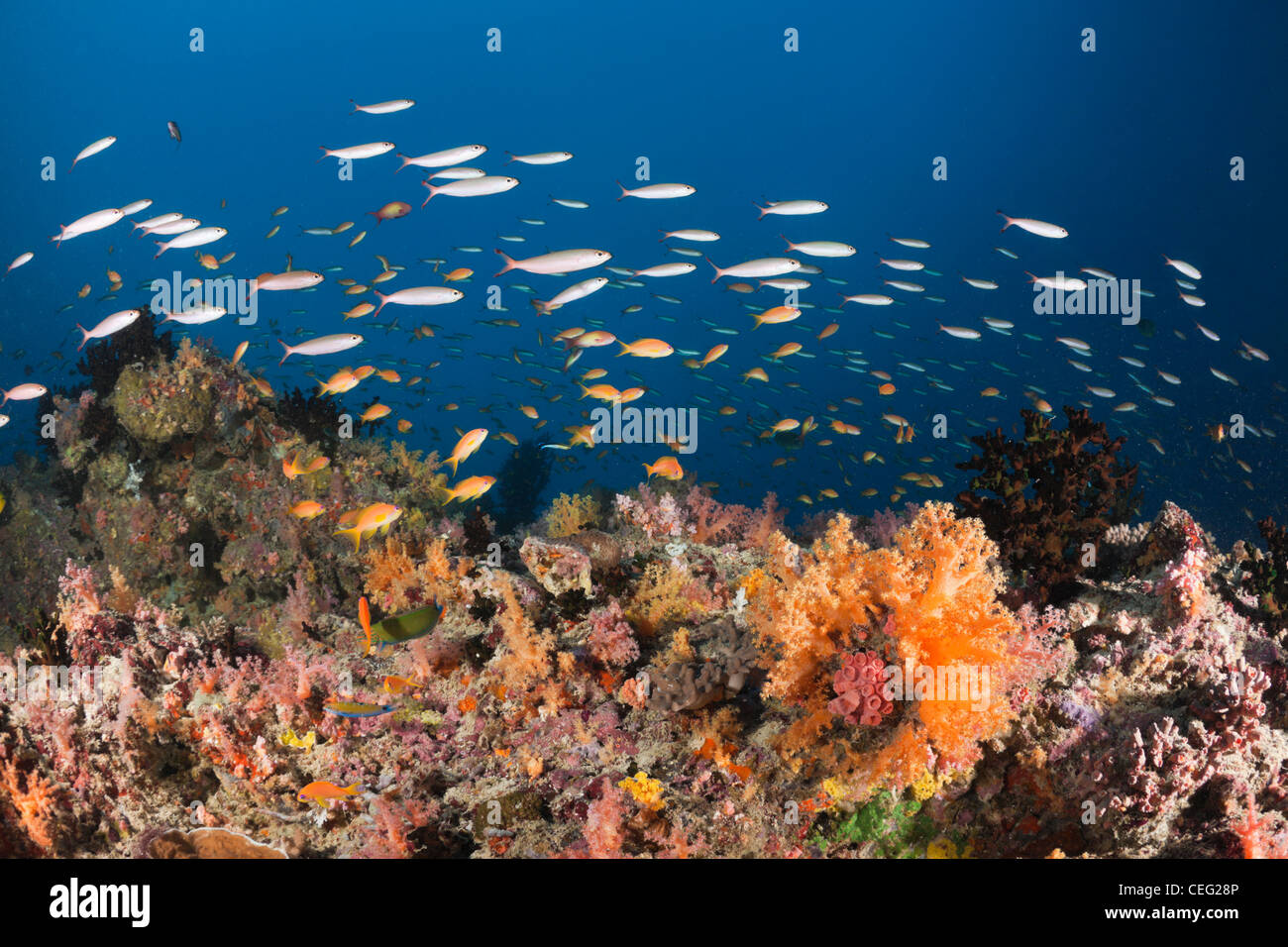 Coral Fishes over Soft Coral Reef, North Male Atoll, Indian Ocean, Maldives - Stock Image
