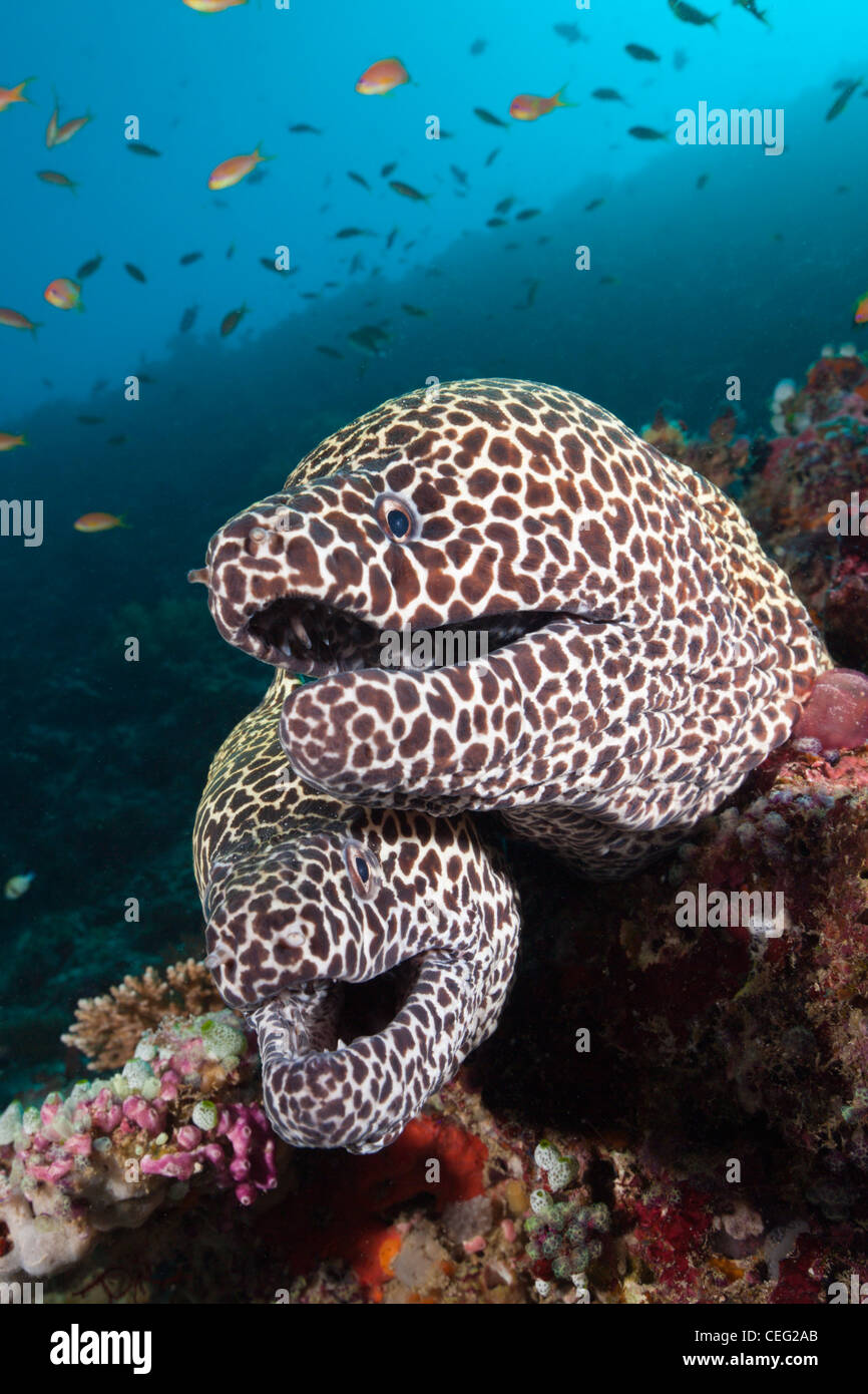 Pair of Honeycomb Moray, Gymnothorax favagineus, North Male Atoll, Indian Ocean, Maldives - Stock Image