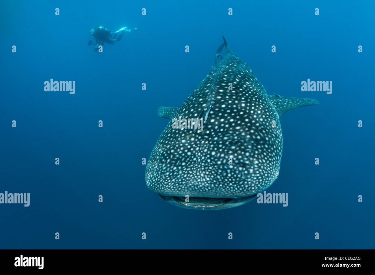 Whale Shark, Rhincodon typus, North Male Atoll, Indian Ocean, Maldives - Stock Image