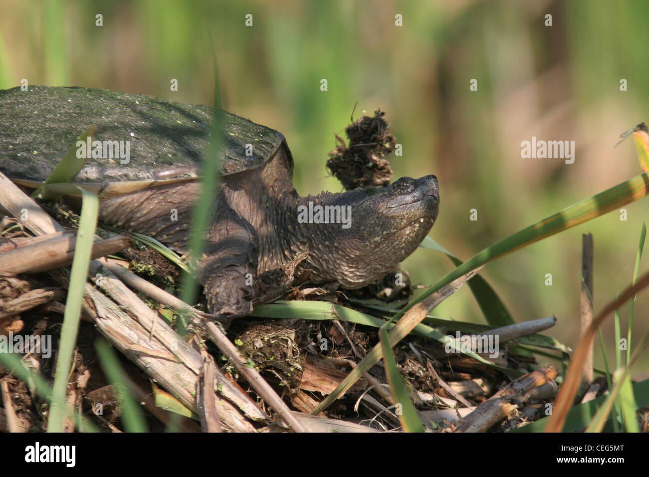 snapping turtle on muskrat lodge marsh ohio sunning Stock Photo