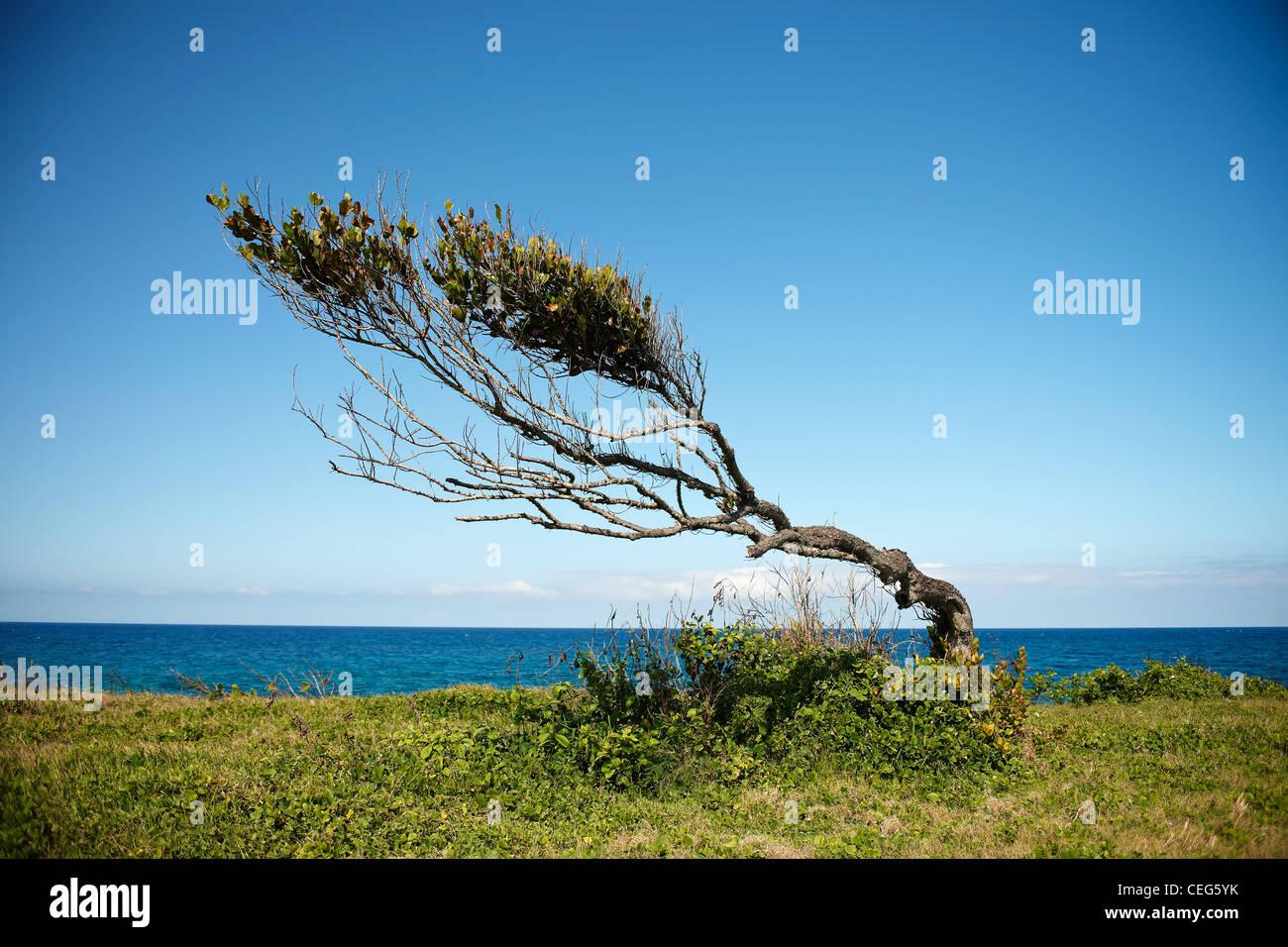 windswept tree on the Jamaican coast - Stock Image