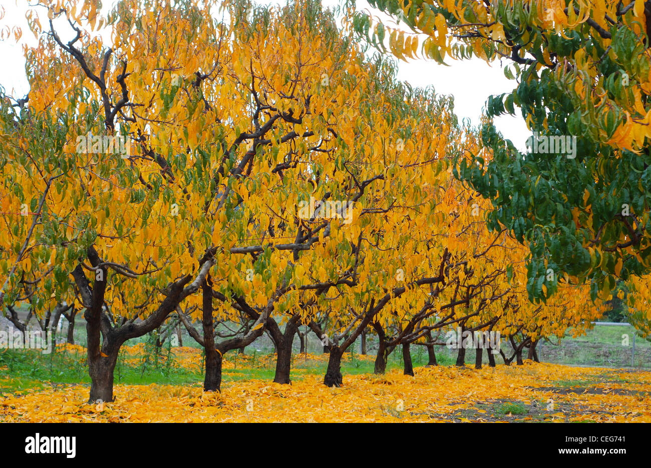 Peach orchard trees during the Fall/Autumn season.  Bright yellow and green leaves on trees and on the ground - Stock Image