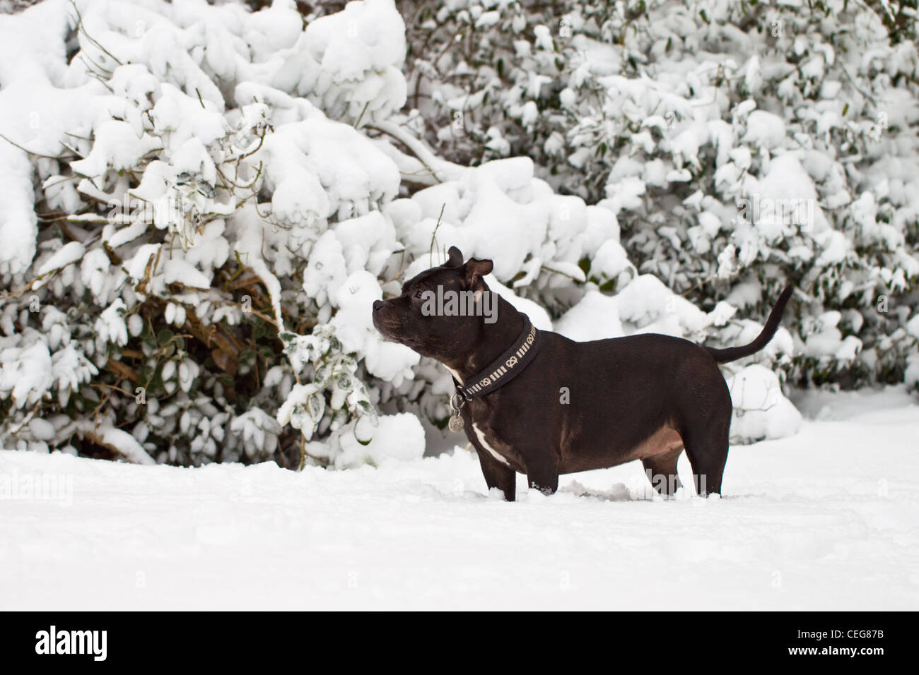 Staffordshire Bul Terrier in the snow. - Stock Image