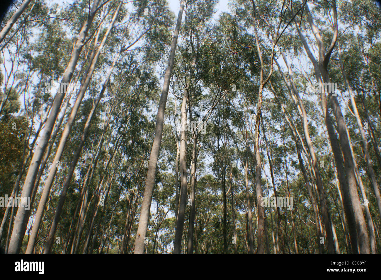 Eucalyptus forest - Stock Image