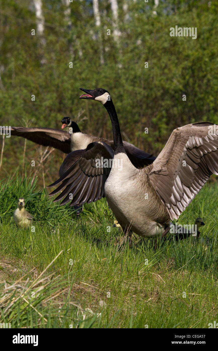 Canada geese scaring off intruders - Stock Image