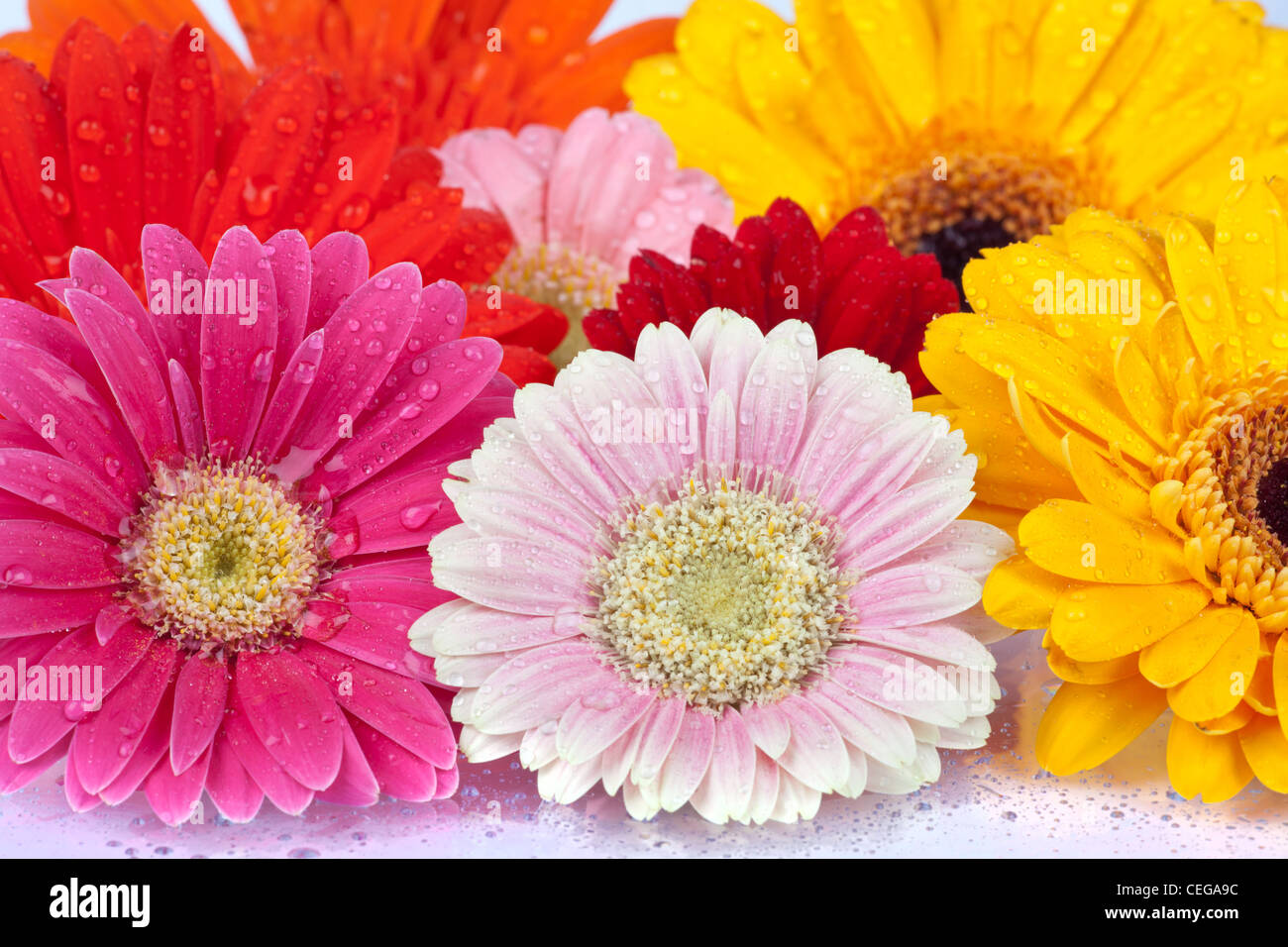 Background Of Colorful Fresh Daisy Blossoms With Water Drops Stock