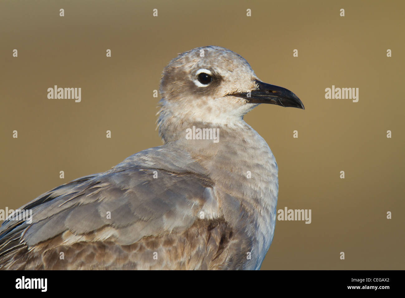 First-winter Laughing Gull (Larus atricilla) - Stock Image