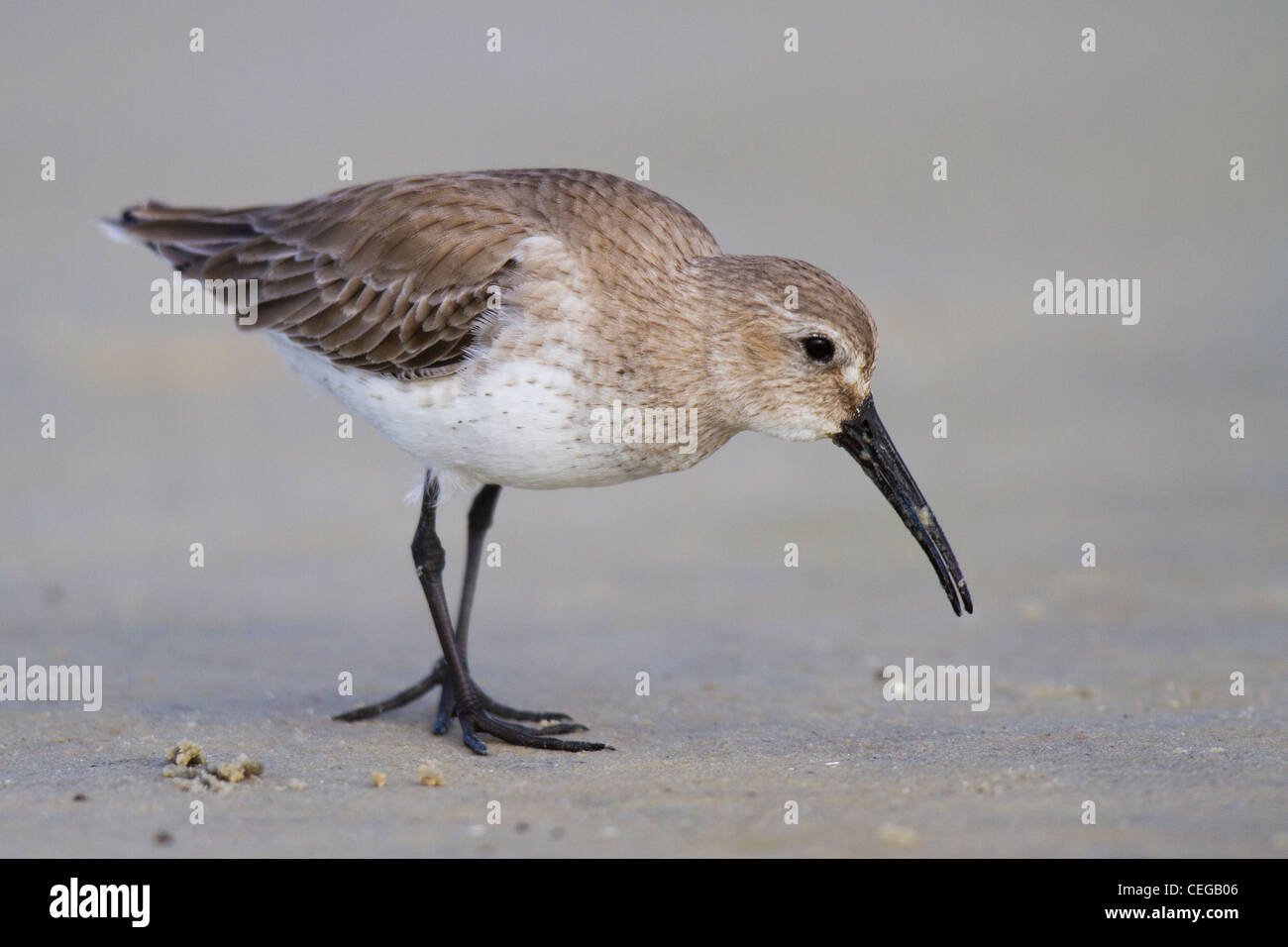 Dunlin (Calidris alpina) in non-breeding plumage walking on a beach - Stock Image
