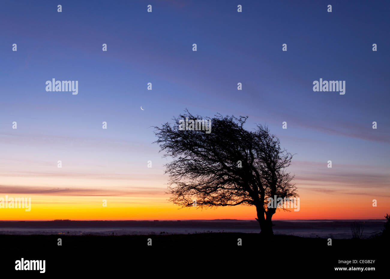 A windswept hawthorn tree photographed at sunrise on Golden Ball Hill near Pewsey in Wiltshire. - Stock Image