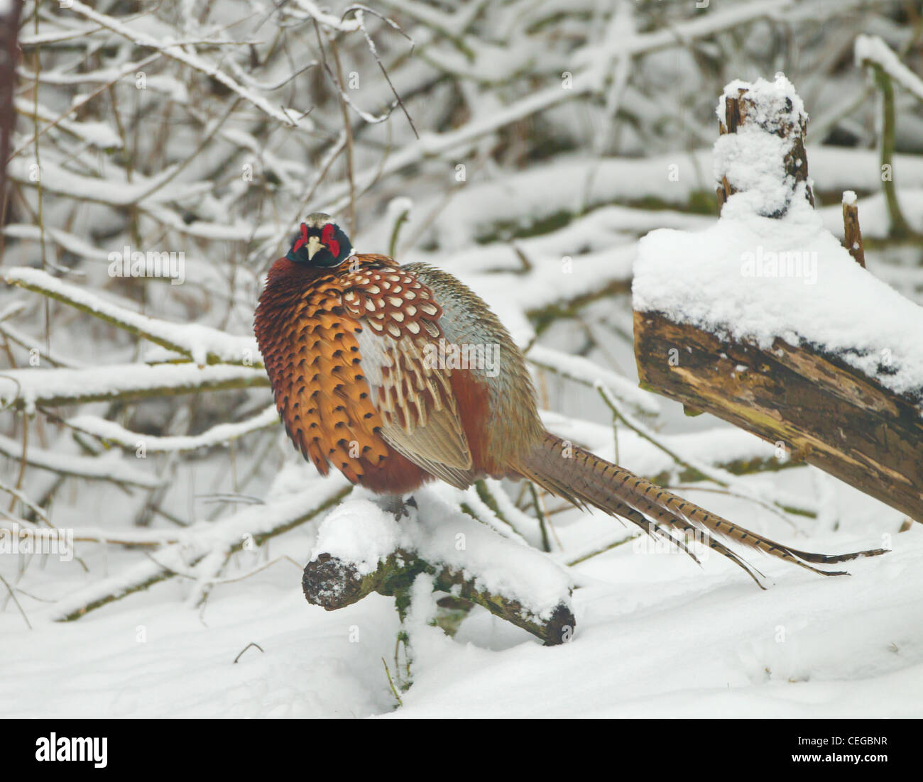 Pheasant In Snow Stock Photos & Pheasant In Snow Stock Images - Alamy