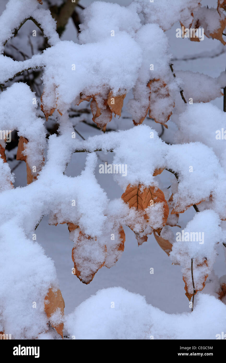 Snow covers beech leaves and forest floor at Strid Wood, Barden, Wharfedale, Yorkshire - Stock Image